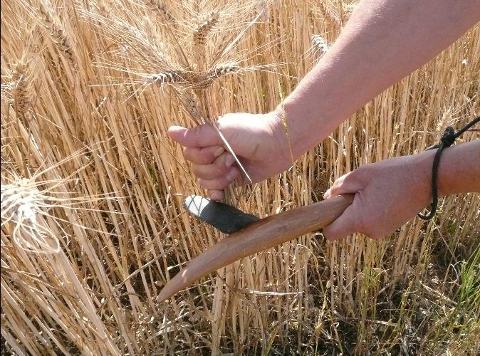 couper du blé avec une faucille